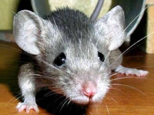 -мышь
