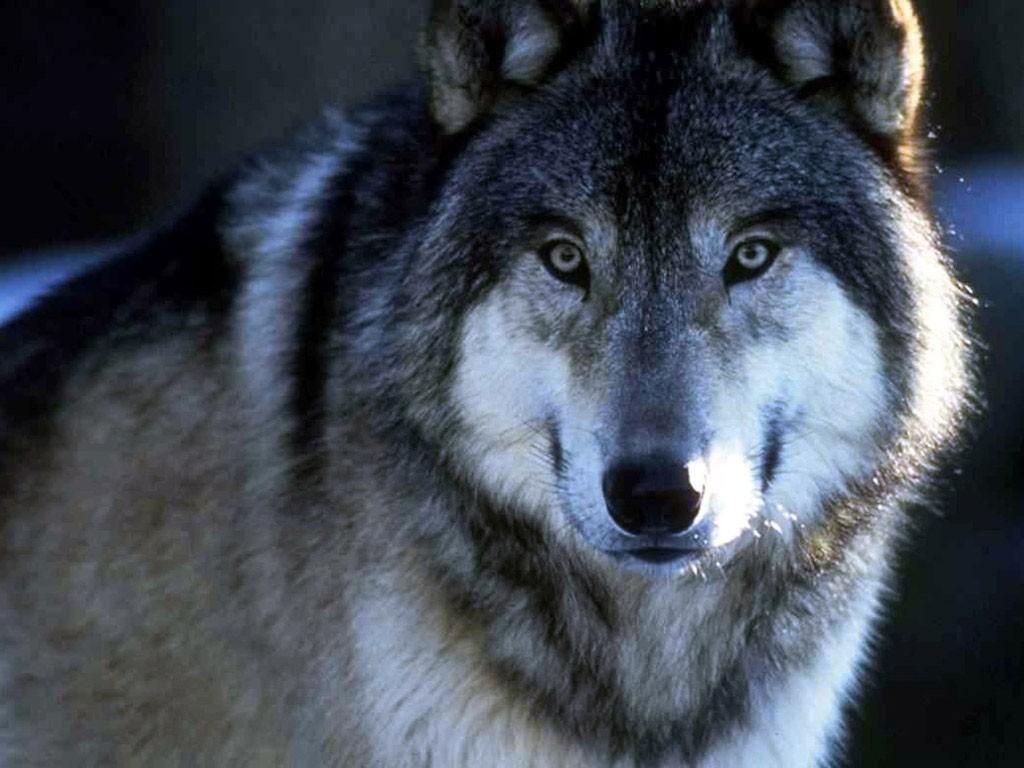 Волк был, только шапочки не доставало нужного цвета