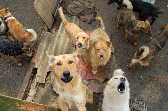 Большая свора бездомных собак