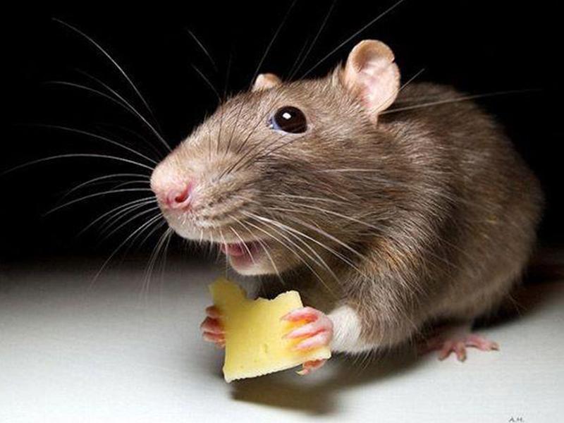 Мышь в банке