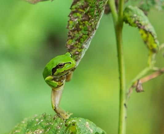 Лягушка на малине