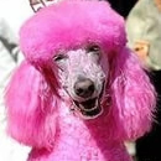 розовый пудель фото