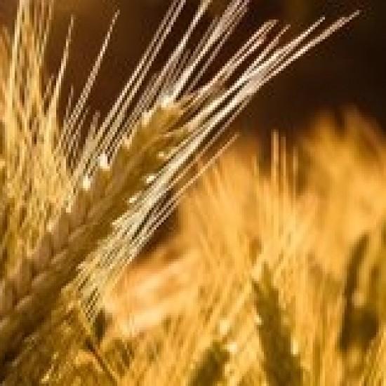 Семь колосков пшеницы