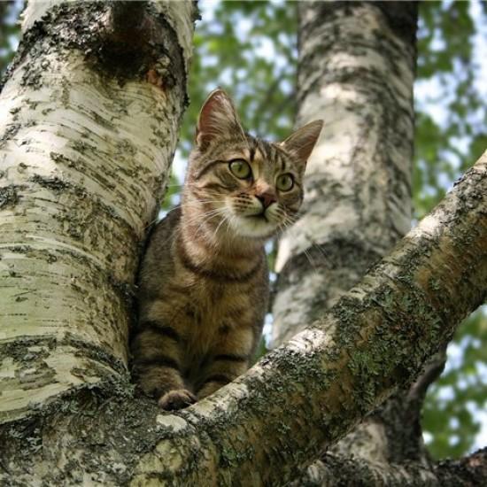 Кошка верхолазка