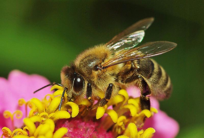 Пчелы соседа