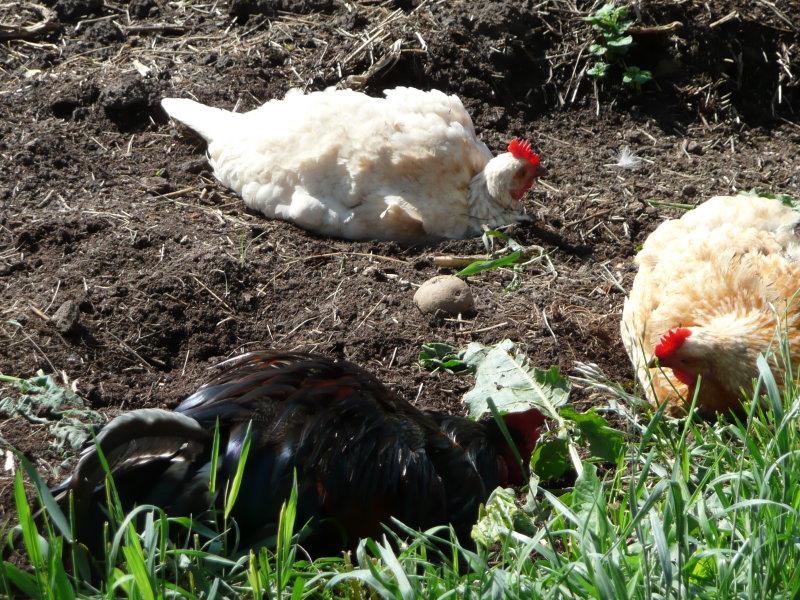 Квартирные цыплята