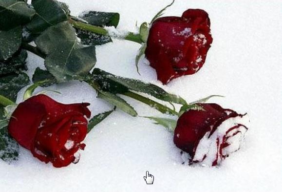 Розы на снегу